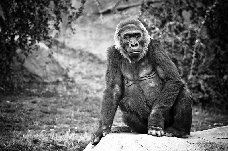 black and white gorilla 25 Remarkable Photographs of Gorillas