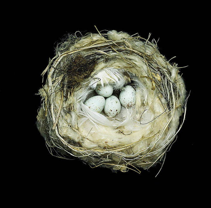 carduelis hornemanni exilipes sharon beals 25 Stunning Photographs of Birds Nests