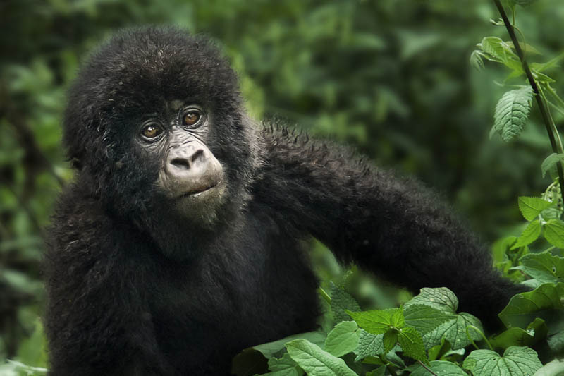 cute baby gorilla 25 Remarkable Photographs of Gorillas