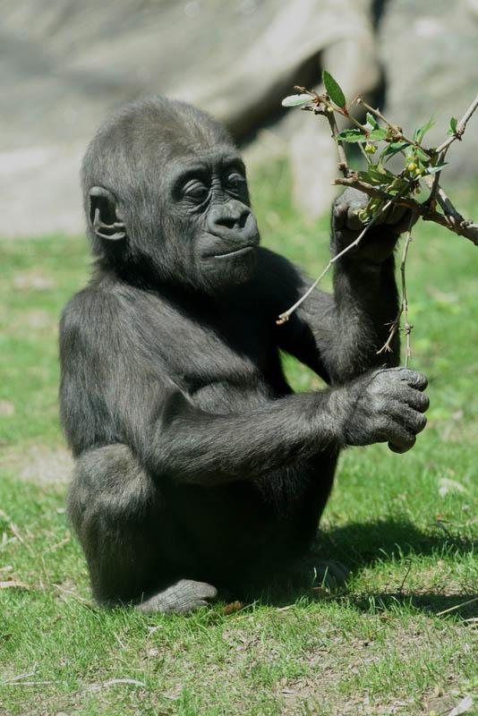 cutest baby gorilla 25 Remarkable Photographs of Gorillas