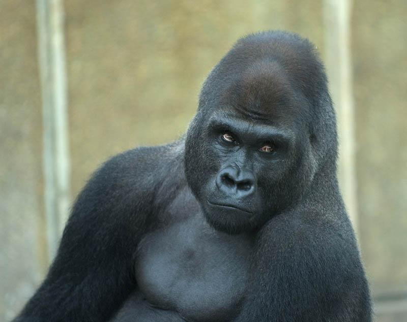 Funny gorilla smiling