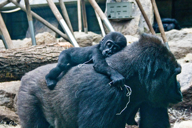gorilla and baby 25 Remarkable Photographs of Gorillas