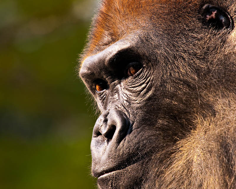 gorilla face close up 25 Remarkable Photographs of Gorillas