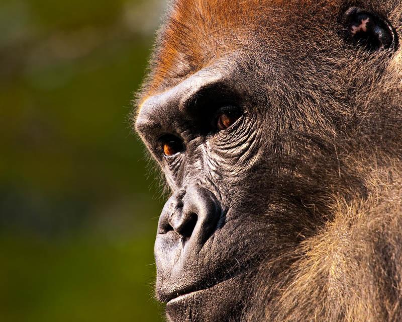 gorilla face close up 25 Remarkable Photographs of Gorillas