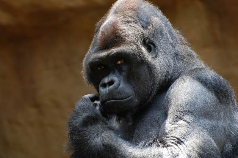 gorilla face 25 Remarkable Photographs of Gorillas