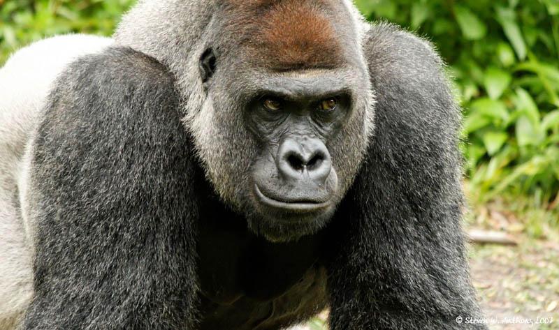 gorilla front 25 Remarkable Photographs of Gorillas