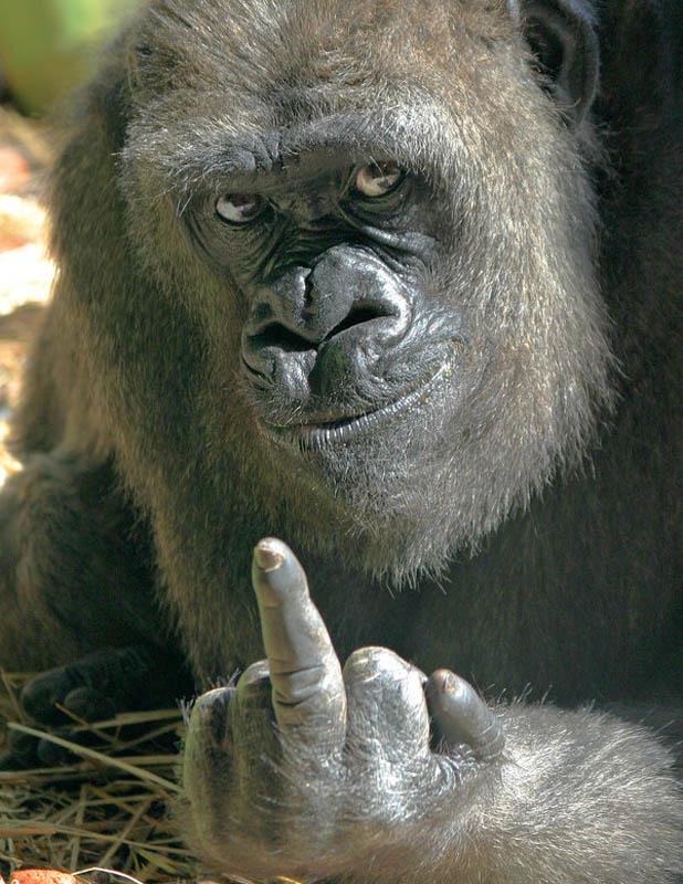 gorilla giving the middle finger 25 Remarkable Photographs of Gorillas