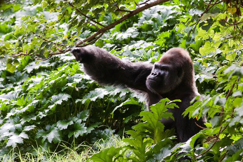 gorilla in forest 25 Remarkable Photographs of Gorillas