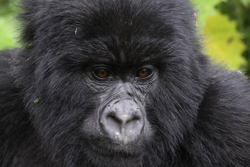 gorilla portrait 25 Remarkable Photographs of Gorillas
