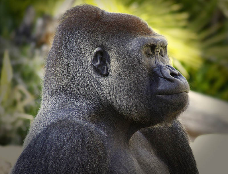 gorilla profile 25 Remarkable Photographs of Gorillas