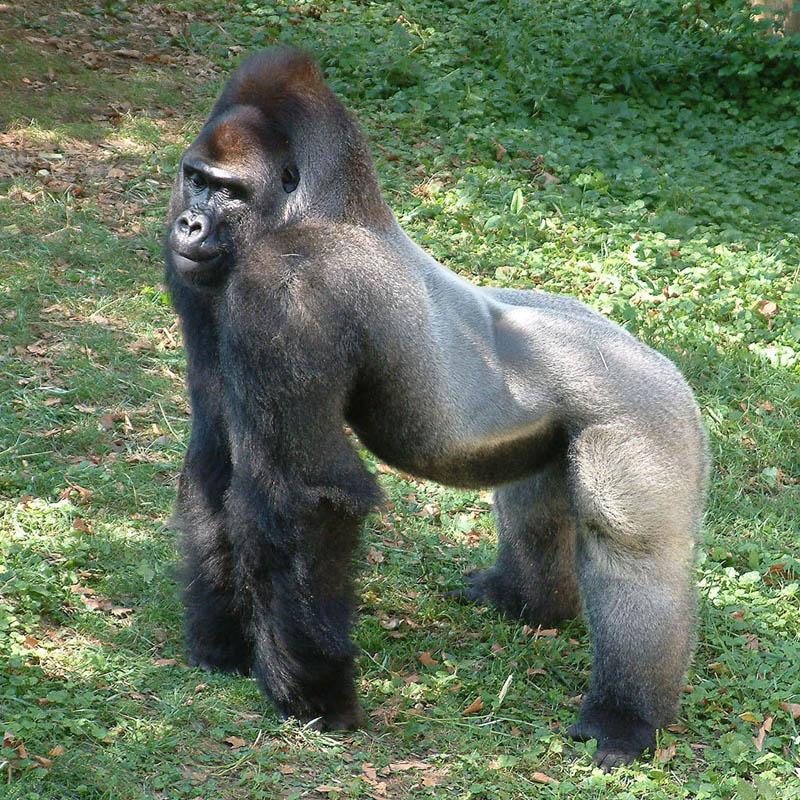 gorilla standing 25 Remarkable Photographs of Gorillas