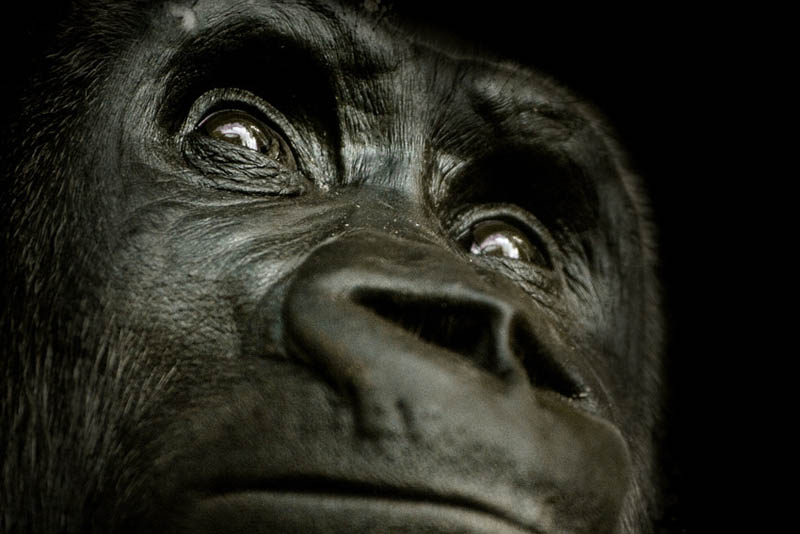 gorilla thinking 25 Remarkable Photographs of Gorillas