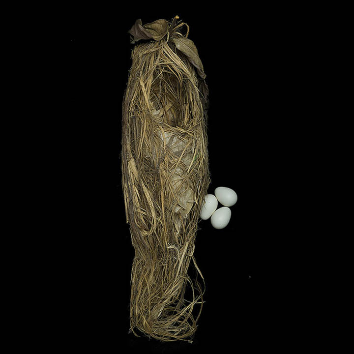 green broadbill sharon beals 25 Stunning Photographs of Birds Nests