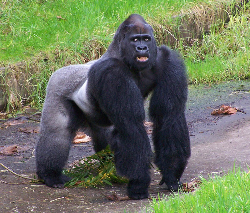 huge gorilla arms 25 Remarkable Photographs of Gorillas