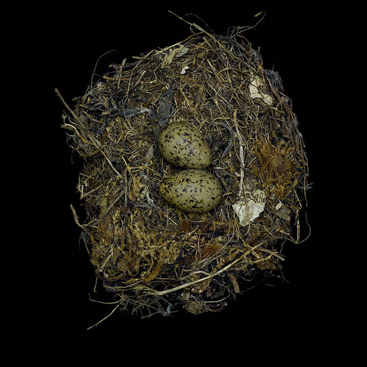 larus occidentalis sharon beals 25 Stunning Photographs of Birds Nests