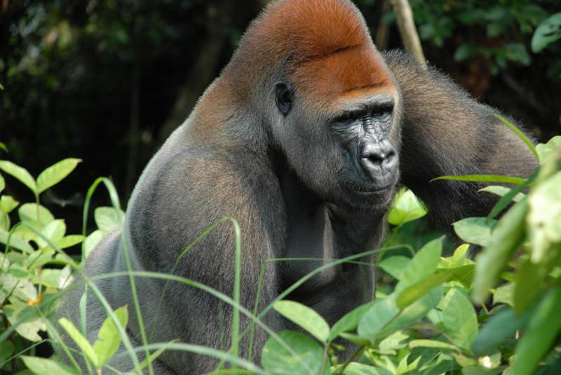male gorilla 25 Remarkable Photographs of Gorillas
