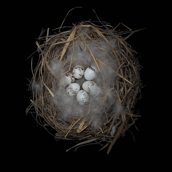 meadow bunting sharon beals 25 Stunning Photographs of Birds Nests