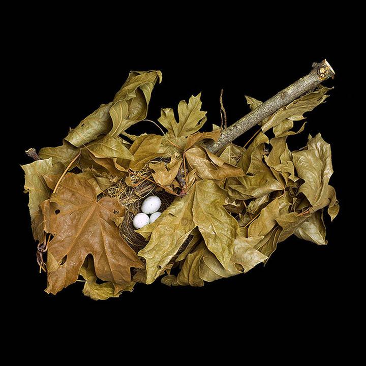 pine siskin in maple branch sharon beals 25 Stunning Photographs of Birds Nests