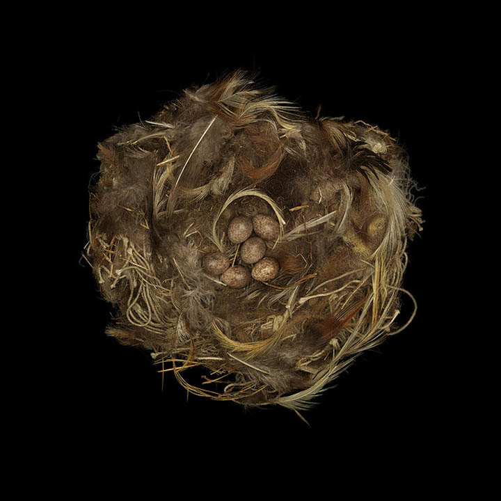 rock sparrow sharon beals 25 Stunning Photographs of Birds Nests