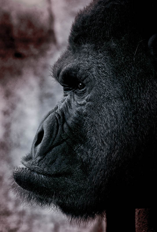 side profile of gorilla 25 Remarkable Photographs of Gorillas