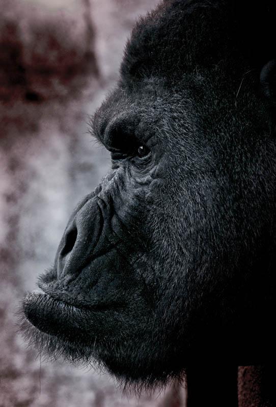 side profile of gorilla 25 Remarkable Photographs of Gorillas