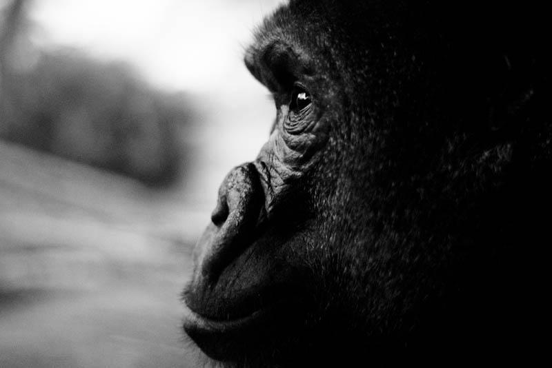 thinking gorilla 25 Remarkable Photographs of Gorillas