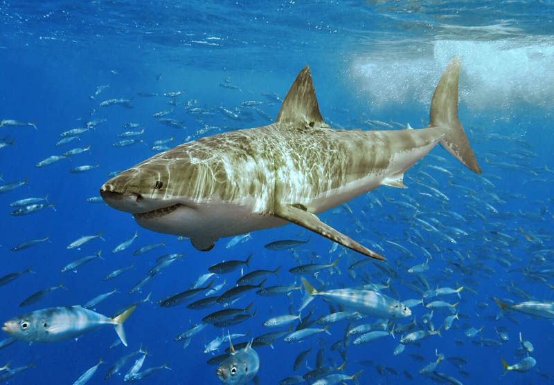 great white shark 1 Rare Underwater Photos of a Shark Attacking a Marlin