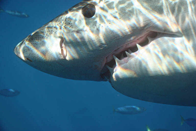 great white shark 12 The Great White Shark: Masters of the Sea [20 pics]