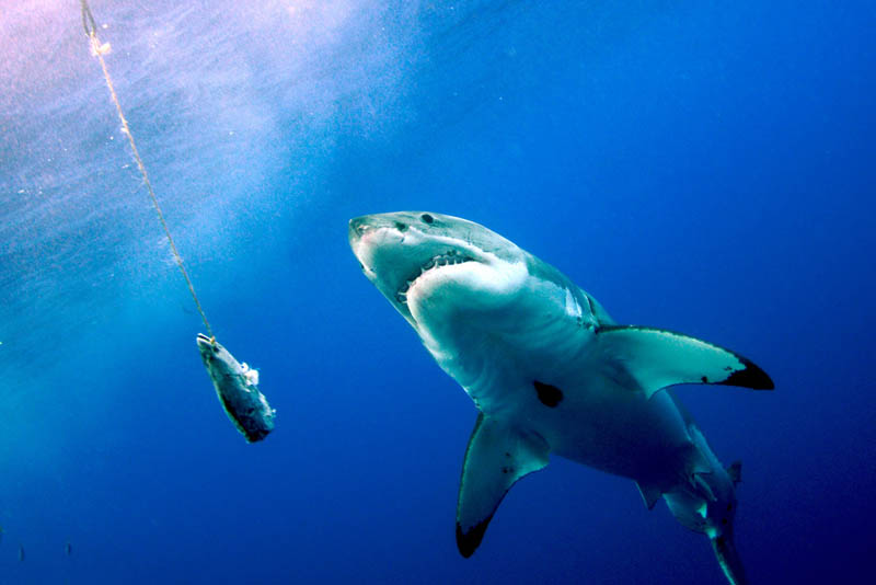 great white shark 14 The Great White Shark: Masters of the Sea [20 pics]
