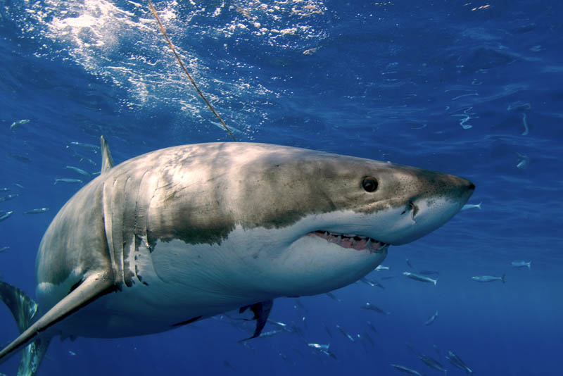 great white shark 16 The Great White Shark: Masters of the Sea [20 pics]