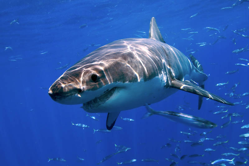 great white shark 17 The Great White Shark: Masters of the Sea [20 pics]