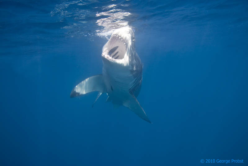 great white shark 19 The Great White Shark: Masters of the Sea [20 pics]