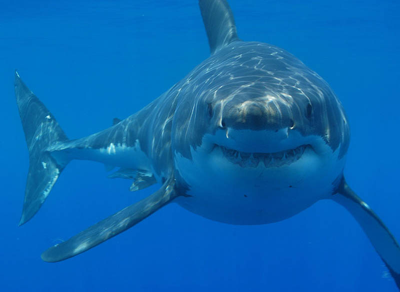 great white shark 20 The Great White Shark: Masters of the Sea [20 pics]