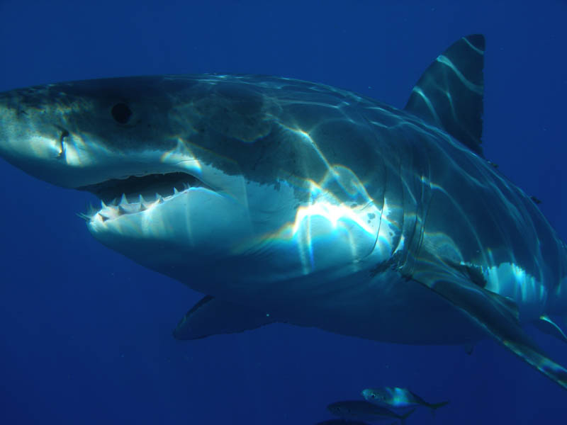 great white shark 3 The Great White Shark: Masters of the Sea [20 pics]