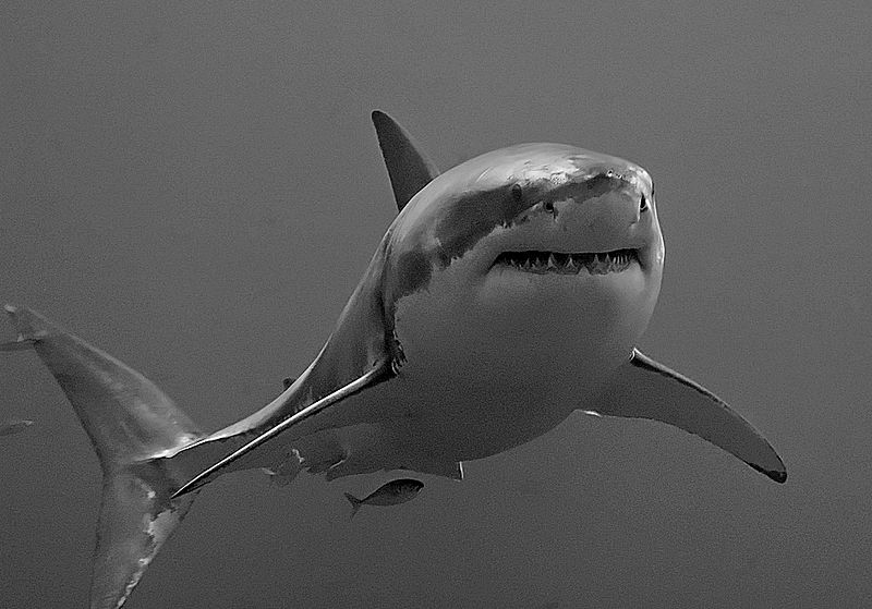 great White shark black and white