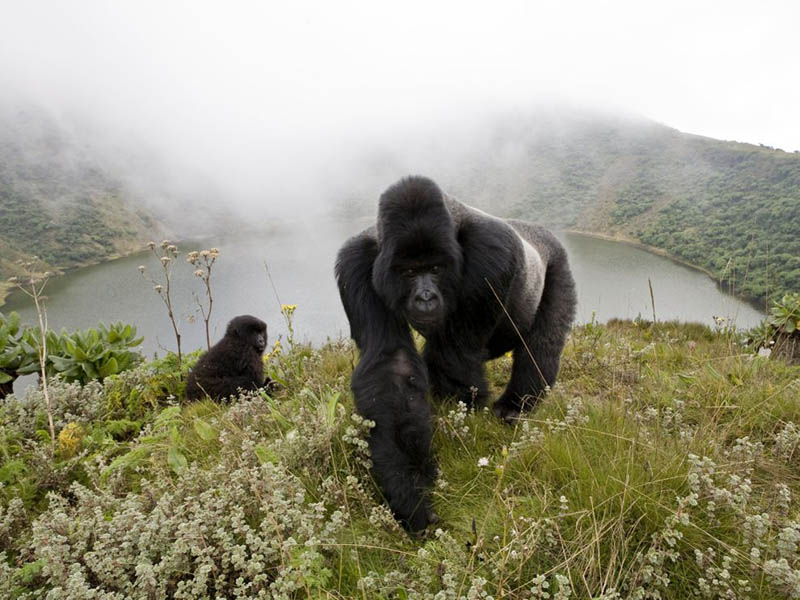 Picture of the Day: Gorillas in the Mist