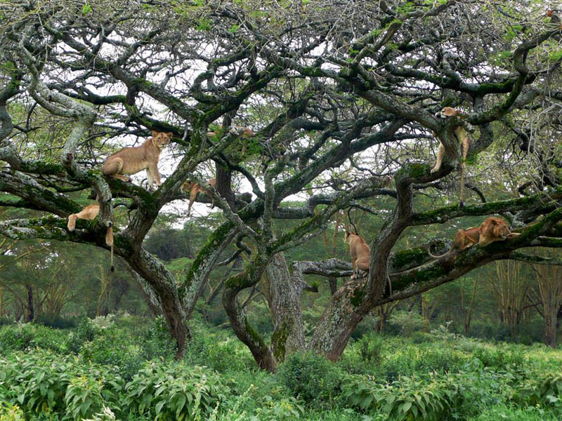 pride of lions lying lounging on tree kenya africa Picture of the Day: Lions Lounging in the Trees