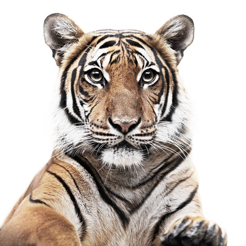 animal portraits by morten koldby 10 Amazing Animal Portraits by Morten Koldby