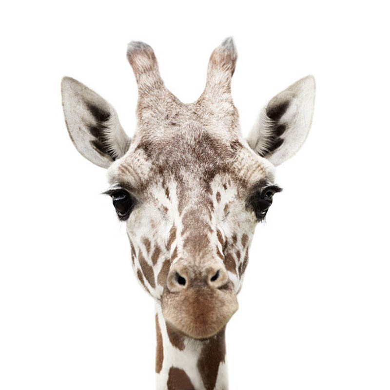 animal portraits by morten koldby 11 Amazing Animal Portraits by Morten Koldby
