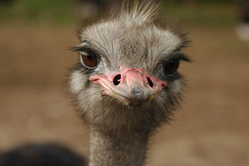 cute ostrich 10 Things You Didnt Know About the Worlds Largest Bird