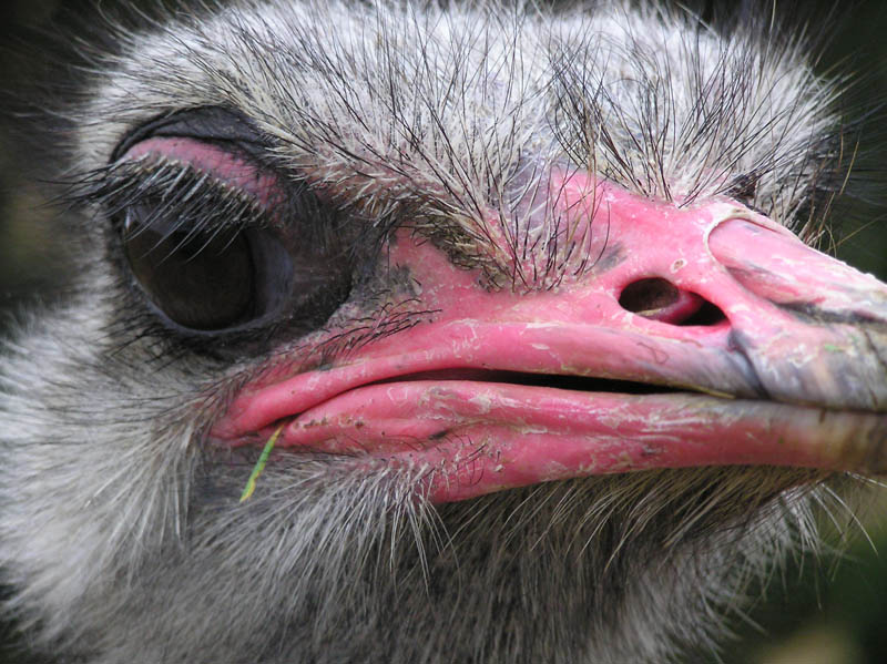 ostrich gangster 10 Things You Didnt Know About the Worlds Largest Bird