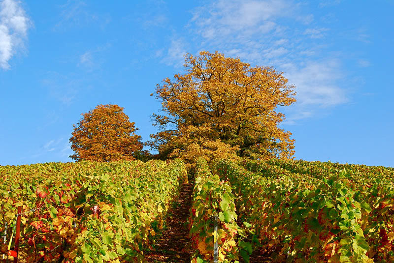 verzenay northeastern france vineyard 35 Gorgeous Vineyards Around the World