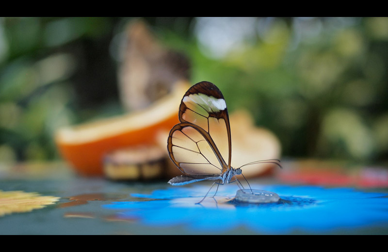 glasswinged butterfly The Top 50 Pictures of the Day for 2011