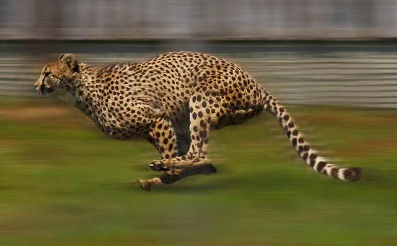 cheetah running The Worlds Fastest Animals on Land, Sea and Air