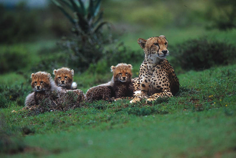 cheetah with cubs The Worlds Fastest Animals on Land, Sea and Air