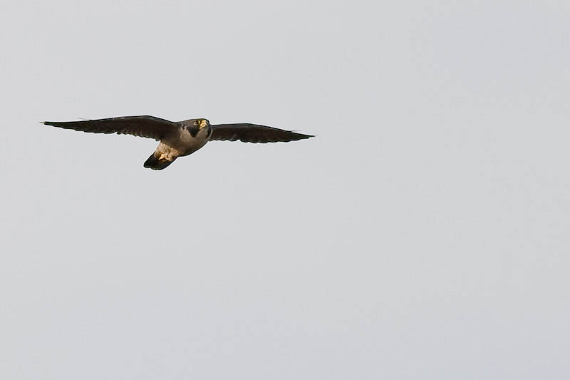 worlds fastest bird peregrine falcon 1 The Worlds Fastest Animals on Land, Sea and Air
