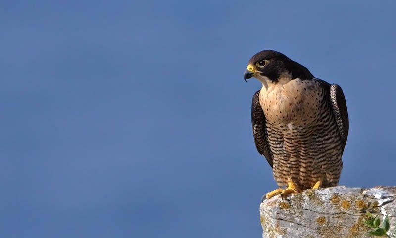 worlds fastest bird peregrine falcon 2 The Worlds Fastest Animals on Land, Sea and Air