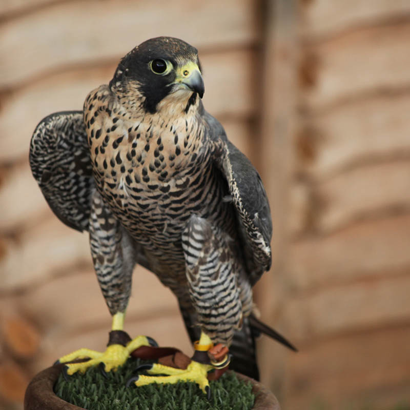 Worlds Fastest Bird Peregrine Falcon  The Worlds Fastest Animals On Land Sea And Air