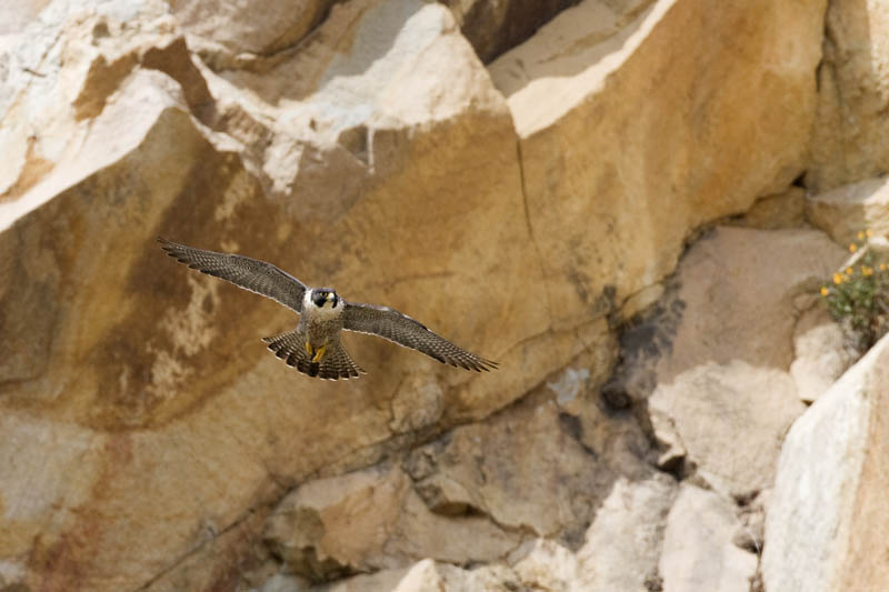 worlds fastest bird peregrine falcon 5 The Worlds Fastest Animals on Land, Sea and Air