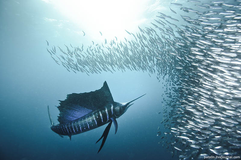 worlds fastest fish swimmer animal in water 3 The Worlds Fastest Animals on Land, Sea and Air